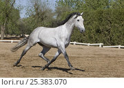 Купить «Purebred Andalusian grey mare trotting, Ejicia, Spain», фото № 25383070, снято 21 сентября 2018 г. (c) Nature Picture Library / Фотобанк Лори