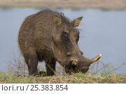 Warthog (Phacochoerus aethiopicus) portrait, Queen Elizabeth National Park, Uganda. Стоковое фото, фотограф Edwin Giesbers / Nature Picture Library / Фотобанк Лори