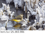 Купить «Grey wagtail (Motacilla cinerea) drinking from pond in winter, Vantaa, Finland», фото № 25383986, снято 24 января 2019 г. (c) Nature Picture Library / Фотобанк Лори
