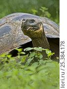 Galapagos giant tortoise (Geochelone elephantopus / nigra) adult in habitat, Santa Cruz, Galapagos. Стоковое фото, фотограф Andy Rouse / Nature Picture Library / Фотобанк Лори