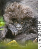 Купить «Mountain gorilla (Gorilla beringei beringei) baby with hairy head, Volcanoes NP, Virunga mountains, Rwanda», фото № 25384286, снято 25 сентября 2018 г. (c) Nature Picture Library / Фотобанк Лори