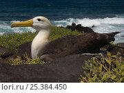 Купить «Waved albatross (Phoebastria irrorata) on nest with coast in background, Punta Cevallos, Española Island, Galapagos Islands», фото № 25384450, снято 20 марта 2019 г. (c) Nature Picture Library / Фотобанк Лори