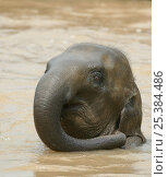 Купить «Asian elephant (Elaphus maximus) playing in water, bathing, captive, Pinnawala Elephant Orphanage, Sri Lanka», фото № 25384486, снято 16 июля 2018 г. (c) Nature Picture Library / Фотобанк Лори