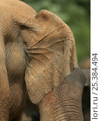 Купить «Close up of rear of ear of Asian elephant (Elaphus maximus) showing veins for heat loss, captive, Pinnawala Elephant Orphanage, Sri Lanka», фото № 25384494, снято 16 июля 2018 г. (c) Nature Picture Library / Фотобанк Лори