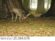 Fallow deer {Dama dama} stag feeding on Sweet chestnut windfalls {Castanea sativa} Norfolk, UK, November. Стоковое фото, фотограф Gary Smith / Nature Picture Library / Фотобанк Лори