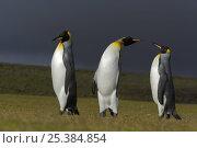 Купить «King penguin (Aptenodytes patagonicus) three males squabbling on beach with storm clouds above, Falkland Islands», фото № 25384854, снято 23 июля 2018 г. (c) Nature Picture Library / Фотобанк Лори