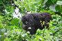 Juvenile Mountain gorilla eating leaves (Gorilla beringei beringei) Volcanoes National Park, Rwanda, Africa, March 2009, фото № 25384978, снято 22 июля 2017 г. (c) Nature Picture Library / Фотобанк Лори