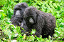 Female Mountain gorilla (Gorilla beringei beringei) nursing her baby, with juvenile Gorilla, in the rain,  Volcanoes National Park, Rwanda, Africa, March 2009, фото № 25385354, снято 23 июля 2017 г. (c) Nature Picture Library / Фотобанк Лори