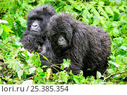 Купить «Female Mountain gorilla (Gorilla beringei beringei) nursing her baby, with juvenile Gorilla, in the rain,  Volcanoes National Park, Rwanda, Africa, March 2009», фото № 25385354, снято 26 мая 2019 г. (c) Nature Picture Library / Фотобанк Лори