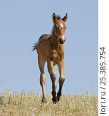 Купить «RF- Mustang wild horse, bay foal running, Pryor Mountains, Montana, USA. (This image may be licensed either as rights managed or royalty free.)», фото № 25385754, снято 21 августа 2019 г. (c) Nature Picture Library / Фотобанк Лори