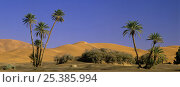 Date Palms (Phoenix dactylifera) and sand dunes in Erg Chebbi, Sahara desert, Tafilalt, Morocco, November. Стоковое фото, фотограф Oriol Alamany / Nature Picture Library / Фотобанк Лори