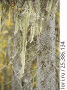 Купить «Lichen {Usnea filipendula} on a Spruce (Picea abies) Oulanka, Finland, September 2008», фото № 25386134, снято 17 июля 2018 г. (c) Nature Picture Library / Фотобанк Лори