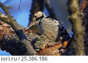 White-backed woodpecker (Dendrocopos leucotos) male feeding on grub in tree, Kotka, Finland, January. Стоковое фото, фотограф Markus Varesvuo / Nature Picture Library / Фотобанк Лори