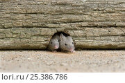 Купить «Two House Mice (Mus musculus) at entrance to mouse hole, UK, Captive», фото № 25386786, снято 25 мая 2018 г. (c) Nature Picture Library / Фотобанк Лори
