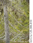 Купить «Lichen {Usnea filipendula} hanging from Spruce (Picea abies) Oulanka, Finland, September 2008», фото № 25386810, снято 17 июля 2018 г. (c) Nature Picture Library / Фотобанк Лори