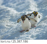 Macaroni penguin (Eudyptes chrysolophus) pair skiing across glacier, South Georgia. Стоковое фото, фотограф Andy Rouse / Nature Picture Library / Фотобанк Лори