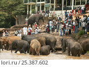 Купить «Asian Elephant (Elaphus maximus) tourists watching herd in river, captive, Pinnawala Elephant Orphanage, Sri Lanka  (non-ex)», фото № 25387602, снято 16 июля 2018 г. (c) Nature Picture Library / Фотобанк Лори