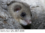 Купить «Fat / Edible dormouse (Glis glis) peering out of nest hole in wood, Baden-Württemberg, Germany», фото № 25387694, снято 19 ноября 2019 г. (c) Nature Picture Library / Фотобанк Лори