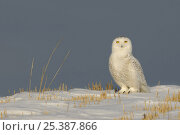 Snowy owl (Bubo scandiaca) perched on snow, Canada. Стоковое фото, фотограф Andy Rouse / Nature Picture Library / Фотобанк Лори