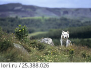 Купить «Wild White Tundra wolf (Canis lupus albus) Finland», фото № 25388026, снято 20 августа 2019 г. (c) Nature Picture Library / Фотобанк Лори
