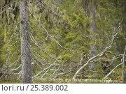 Купить «Lichen {Usnea filipendula} on a Spruce (Picea abies) Oulanka, Finland, September 2008», фото № 25389002, снято 17 июля 2018 г. (c) Nature Picture Library / Фотобанк Лори