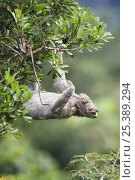 Купить «Three toed / Brown throated sloth (Bradypus variegatus) reaching for new growth, Soberania NP, Panama», фото № 25389294, снято 26 февраля 2020 г. (c) Nature Picture Library / Фотобанк Лори