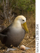 Купить «Waved Albatross (Phoebastria irrorata) sitting on egg, Punta Suarez, Española Island, Galapagos Islands, (Endemic to Galapagos). Critically Endangered», фото № 25389354, снято 22 апреля 2019 г. (c) Nature Picture Library / Фотобанк Лори