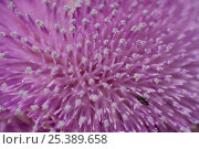 Купить «Close up of Musk thistle (Carduus nutans) flower with insect, Bulgaria, May 2008», фото № 25389658, снято 17 августа 2018 г. (c) Nature Picture Library / Фотобанк Лори