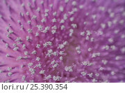 Купить «Close up of Musk thistle (Carduus nutans) flower, Bulgaria, May 2008», фото № 25390354, снято 24 мая 2018 г. (c) Nature Picture Library / Фотобанк Лори