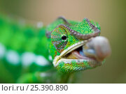 Купить «Panther chameleon (Furcifer pardalis) with tongue sticking out, Madagascar», фото № 25390890, снято 17 июля 2019 г. (c) Nature Picture Library / Фотобанк Лори