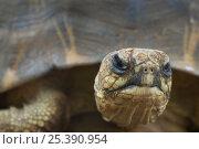 Radiated tortoise (Geochelone radiata) portrait, Berenty Reserve, Madagascar. Стоковое фото, фотограф Edwin Giesbers / Nature Picture Library / Фотобанк Лори