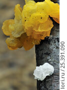Купить «Yellow brain fungus (Tremella mesenterica) in yellow and colourless form, Belgium», фото № 25391090, снято 25 июня 2018 г. (c) Nature Picture Library / Фотобанк Лори