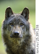Купить «Portrait of European grey wolf (Canis lupus) Captive, France», фото № 25391218, снято 20 февраля 2020 г. (c) Nature Picture Library / Фотобанк Лори