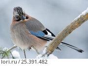 Купить «Eurasian Jay (Garrulus glandarius) perched in snow, feathers fluffed up for warmth, Anjalankoski, Finland, January», фото № 25391482, снято 19 февраля 2019 г. (c) Nature Picture Library / Фотобанк Лори