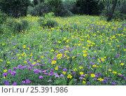 Купить «Wildflowers Verbena (purple), Huisache-Daisy (yellow) and Yucca, South Llano River State Park, Hill Country, Texas, USA», фото № 25391986, снято 17 августа 2018 г. (c) Nature Picture Library / Фотобанк Лори