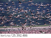 Flock of Lesser flamingo {Phoeniconaias minor} in flight, Lake Nakuru NP, Kenya, July. Стоковое фото, фотограф Anup Shah / Nature Picture Library / Фотобанк Лори