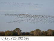 Купить «Migrant Lapwing flocks (Vanellus vanellus) coming to roost as Great Cormorants (Phalacrocorax carbo) arrive at tree roosts, Lac du Der-Chantecoq, Champagne, France. autumn 2008», фото № 25392626, снято 17 октября 2018 г. (c) Nature Picture Library / Фотобанк Лори