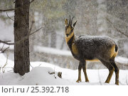 Pyrenean chamois {Rupicapra pyrenaica} in snow, captive, Pyrenees, France. Стоковое фото, фотограф Inaki Relanzon / Nature Picture Library / Фотобанк Лори