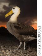 Купить «Waved Albatross (Phoebastria irrorata) portrait, Punta Cevallos, Española Island, Galapagos Islands, Ecuador, South America. Endemic, Critically endangered», фото № 25393082, снято 17 июня 2019 г. (c) Nature Picture Library / Фотобанк Лори