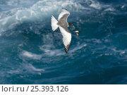 Купить «Swallow-tailed Gull (Creagrus / Larus furcatus) in flight over sea, Punto Cevallos, Española / Hood Island, Galapagos Islands, Ecuador, South America. Endemic», фото № 25393126, снято 20 марта 2019 г. (c) Nature Picture Library / Фотобанк Лори