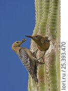 Купить «Gila woodpecker (Melanerpes uropygialis) female brings prey to nest, male about to leave nest in Saguaro cactus, Sonoran desert, Arizona, USA», фото № 25393470, снято 19 августа 2018 г. (c) Nature Picture Library / Фотобанк Лори