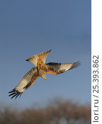 Купить «Red kite (Milvus milvus) diving, Rhayader, Wales, January», фото № 25393862, снято 24 сентября 2018 г. (c) Nature Picture Library / Фотобанк Лори