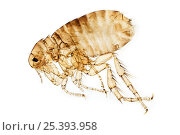 Hedgehog flea {Archaeopsylla erinacei} light micrograph, slide specimen. Стоковое фото, фотограф Alex Hyde / Nature Picture Library / Фотобанк Лори
