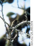 Купить «Large cactus ground finch {Geospiza conirostris} Santa Cruz Is, Galapagos», фото № 25393974, снято 17 июня 2019 г. (c) Nature Picture Library / Фотобанк Лори