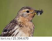 Red-throated pipit (Anthus cervinus) with beak full of insect prey, Norway, July. Стоковое фото, фотограф Markus Varesvuo / Nature Picture Library / Фотобанк Лори