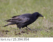 Купить «Rook (Corvus frugilecus) feeding on insect larva in grassland, Latvia, April», фото № 25394954, снято 23 сентября 2018 г. (c) Nature Picture Library / Фотобанк Лори