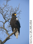 Купить «Steller's Sea Eagle (Haliaeetus pelagicus) adult perched in tree, Lake Furen, Nemuro, Hokkaido, Japan», фото № 25395054, снято 3 апреля 2020 г. (c) Nature Picture Library / Фотобанк Лори