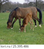 Купить «Bay mare and filly, filly bending her knees in order to reach down and sniff the grass, UK», фото № 25395486, снято 16 августа 2018 г. (c) Nature Picture Library / Фотобанк Лори