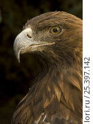 Golden eagle (Aquila chrysaetos) Portrait, Captive, USA. Стоковое фото, фотограф John Cancalosi / Nature Picture Library / Фотобанк Лори