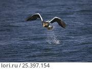 Купить «Steller's Sea Eagle (Haliaeetus pelagicus) catching fish from water while flying, Shiretoko, Hokkaido, Japan», фото № 25397154, снято 3 апреля 2020 г. (c) Nature Picture Library / Фотобанк Лори